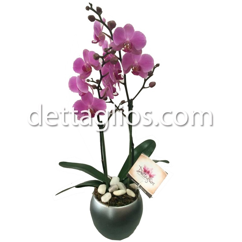 Orquidea en maceta - Como cuidar orquideas en maceta ...